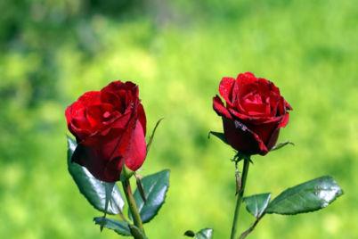 2-bunga-mawar-merah.jpg