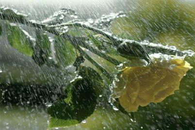 hujan-pada-mawar.jpg