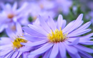 103025-flower-purple-and-yellow-flowers
